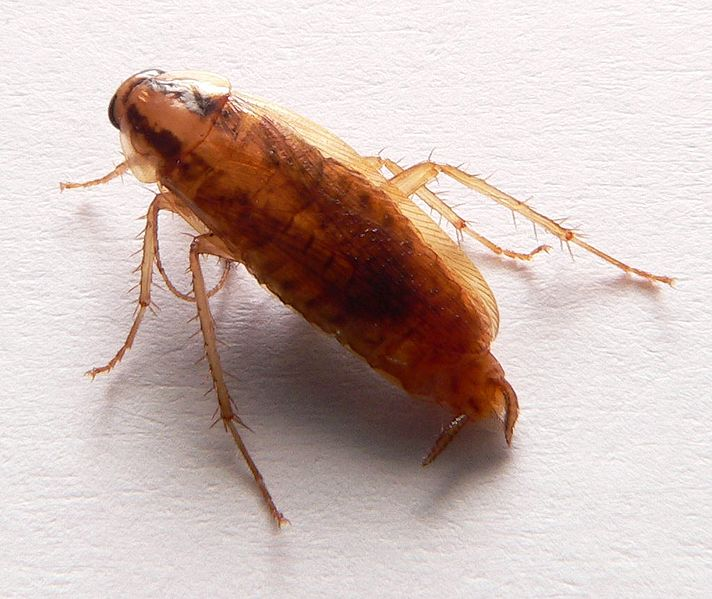 cockroach picture