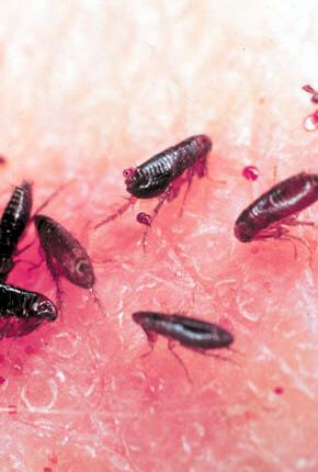 flea picture